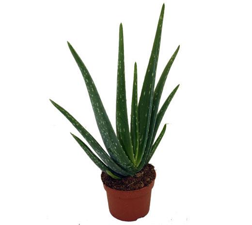Aloe vera / Wüstenlilie