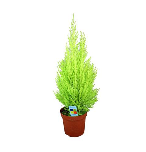 Zimmerzypresse / Cupressus Macrocarpa