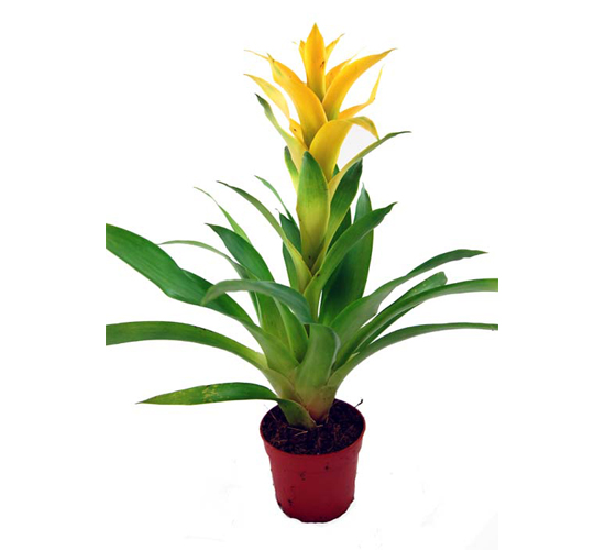 Guzmania