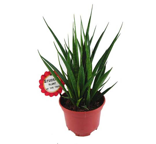 Studentenpflanze / Sansevieria Friends